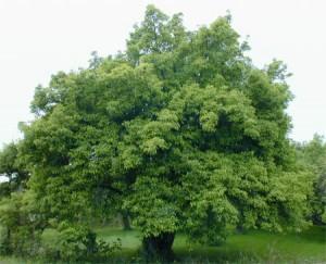 fairy_apple_tree
